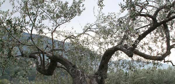 olivier-